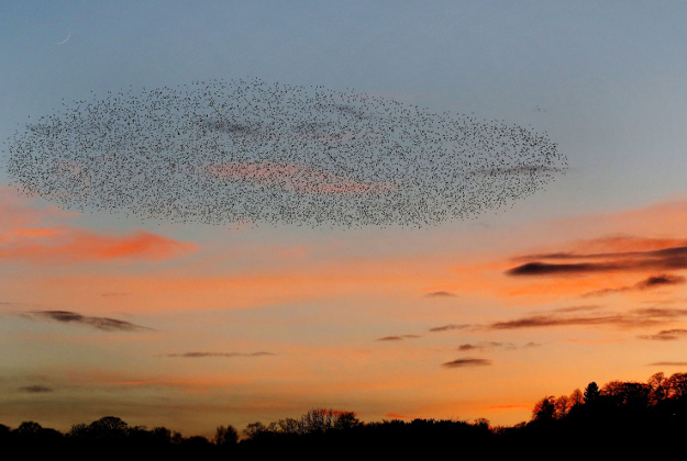 Starlings perform a murmuration at sunset over Gateshead in Tyne and Wear. The reason for the spectacle is not definitively known, with theories ranging from a defence mechanism against predators to attracting more birds to join their roost.