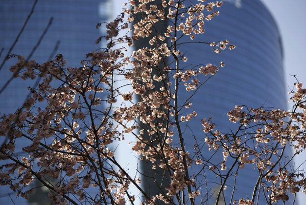 Blossom is seen on the branches of a peach tree, in Milan, Italy, Tuesday, Jan. 12, 2016. Exceptionally high temperatures and dry weather have been marking the first part of the winter.