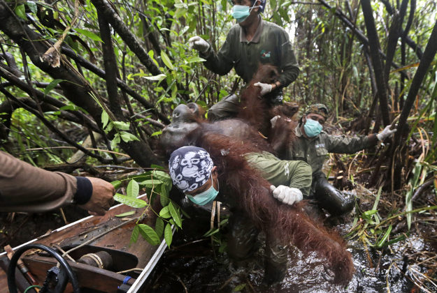 Conservationists from the Borneo Orangutan Survival Foundation carry a tranquilized orangutan to a waiting boat as they conduct a rescue and release operation for orangutans trapped in a swath of jungle.