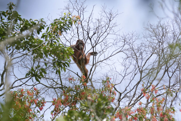 Orang-utans are the most intelligent of primates according to exports