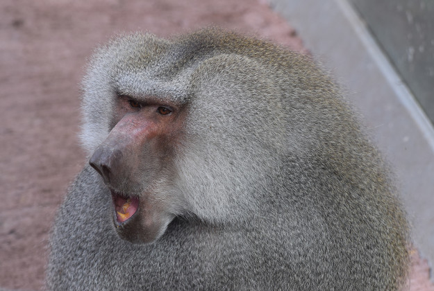 Baboon on the loose after escaping from Danish Zoo.