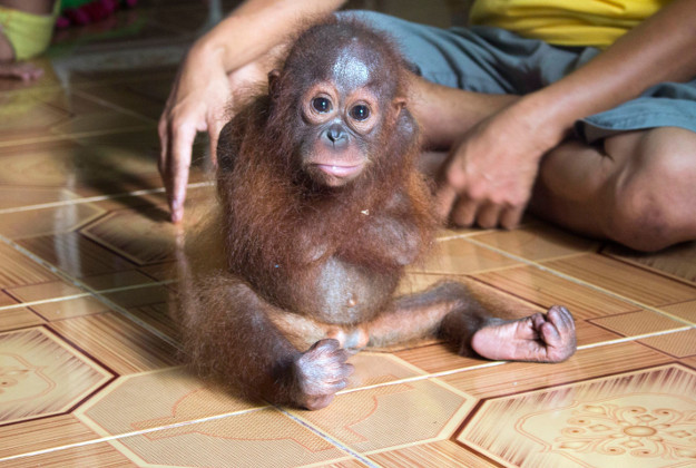 Joss, the rescued orang-utan Image by: International Animal Rescue/PA Wire.