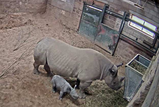 Screengrab from undated handout video issued by Chester Zoo of an Eastern black rhino named Ema Elsa with her newborn calf after the birth of the male calf was captured on CCTV. Image by: Chester Zoo/PA Wire.