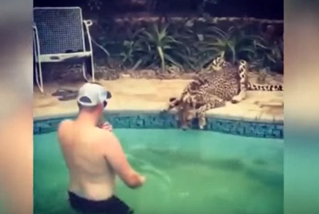 Poley cautiously approaching the poolside cheetah. Image by Screengrab via YouTube