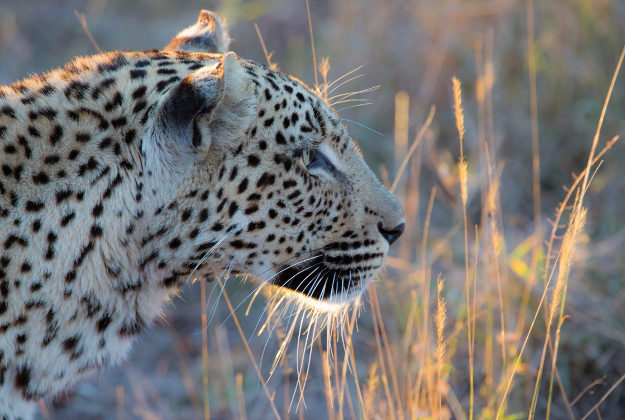 A leopard in the Sabi Sand Game Reserve, South Africa.