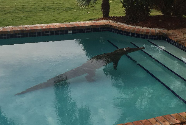 A homeowner on Lower Matecumbe Key called the sheriff's office Thursday morning to report an 8-foot-long crocodile he found lounging in his swimming pool.