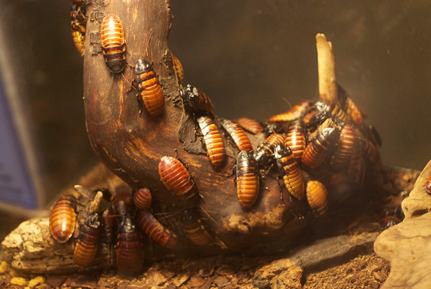 Hissing cockroaches from Madagascar