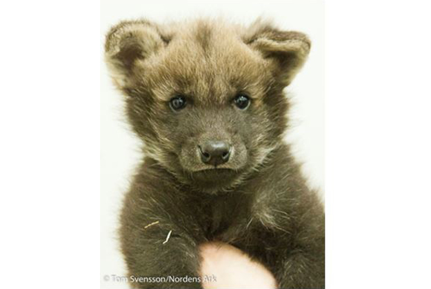 Adorable wolf cubs have captured hearts.