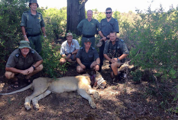 A snared lion was saved at the Kuger Park in South Africa