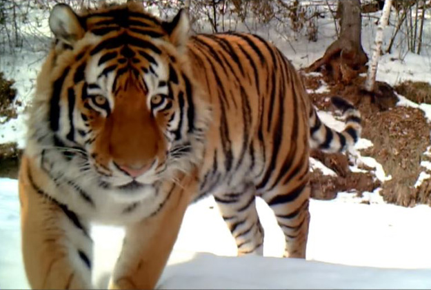 The forestry department in Muling City, northeast China's Heilongjiang Province, has recently captured footage of a wild Amur tiger at a local nature reserve.