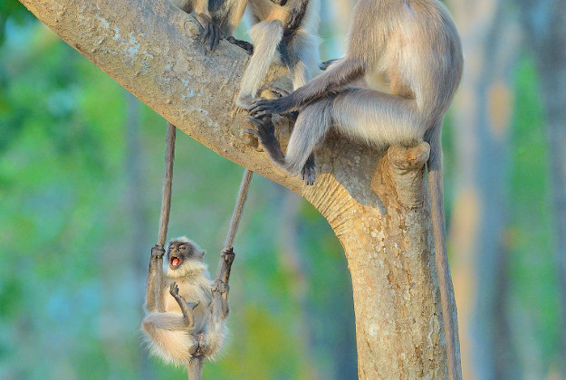 """Two takes of the photo issued by the Natural History Museum of """"A swinging time"""" by Thomas Vijayan from India showing grey langurs playing in Bandipur National Park, Karnataka, India which is the winner of the Wildlife Photographer of the Year People's Choice Award."""