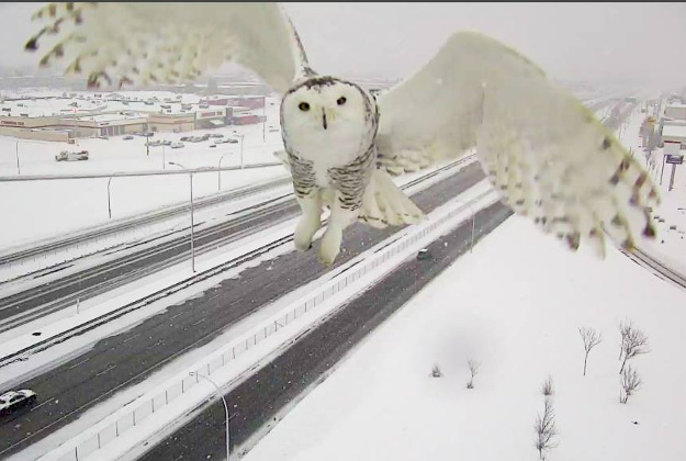 A snowy owl captured by a Montreal traffic camera