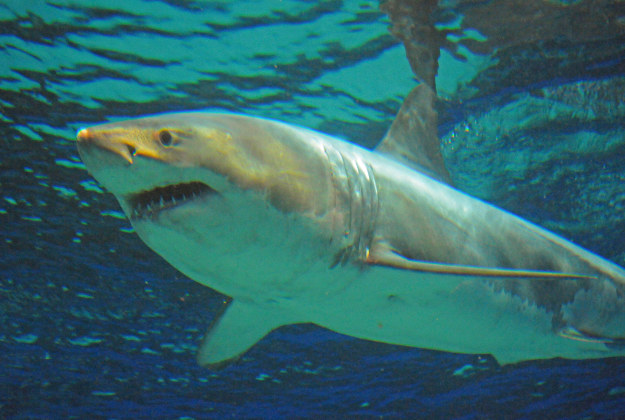 A shark mysteriously died in the Okinawa Aquarium