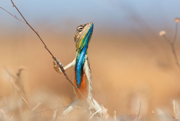 """Photo issued by the Natural History Museum of """"Warrior of the grassland"""", by Anup Deodhar from India, showing a fan-throated lizard, which featured in the final the Wildlife Photographer of the Year People's Choice Award."""