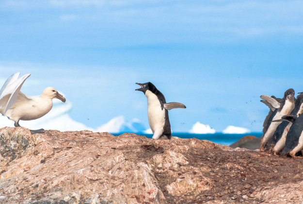 """Photo issued by the Natural History Museum of """"A mother's courage"""" by Linc Gasking showing a mother Adelie penguin protecting a group of chicks from a southern giant petrel which featured in the final the Wildlife Photographer of the Year People's Choice Award."""