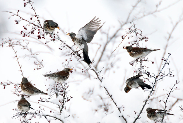 """photo issued by the Natural History Museum of """"Berries for the fieldfares""""."""