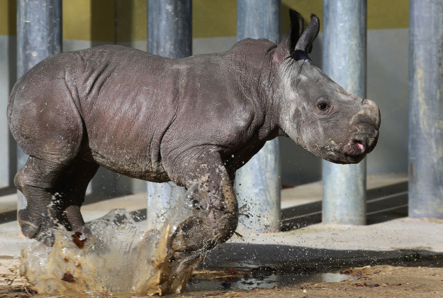 Baby rhinoceros 'Kibo' runs through a puddle in an enclosure at the zoo of  Augsburg, Germany, Monday Feb. 22, 2016. The two-week-old male animal was presented to the public for the first time.