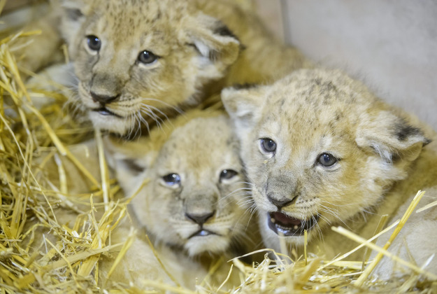 Lion cubs cuddle in the Gyongyos Zoo in Gyongyos, 79 kms northeast of Budapest, Hungary, Tuesday, Feb. 23, 2016. The yet unnamed one male and two female cubs, the fourth litter of lioness Elza, were born on Jan. 12.
