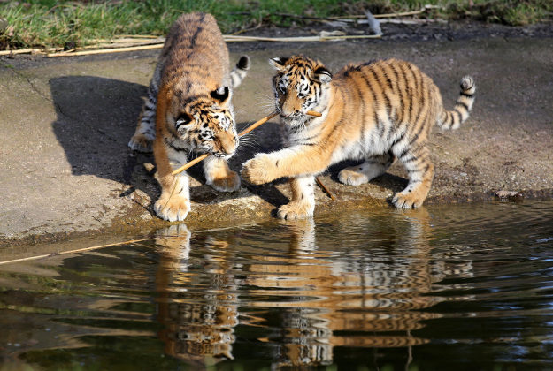 Four month old critically endangered Amur tiger cubs explore their new surroundings, as they are released into their 9 acre tiger reserve at Woburn Safari park in Bedfordshire. PRESS ASSOCIATION Photo. Picture date: Tuesday February 23, 2016. Born to four-year-old tigress Minerva during October last year, the new cubs signify an important achievement not just for the park, but for the international breeding programme of this threatened species.