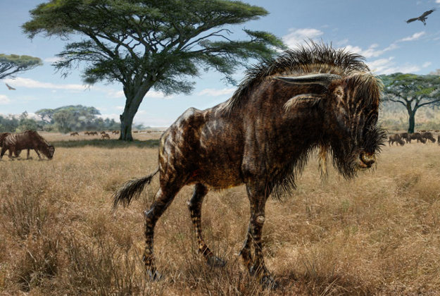 """Undated handout artist impression of a Rusingoryx atopocranion. The ancient """"wildebeest"""" shared a bizarre feature with herd dinosaurs that lived tens of millions of years before it, say scientists. Image by Todd S. Marshall/PA Wire."""