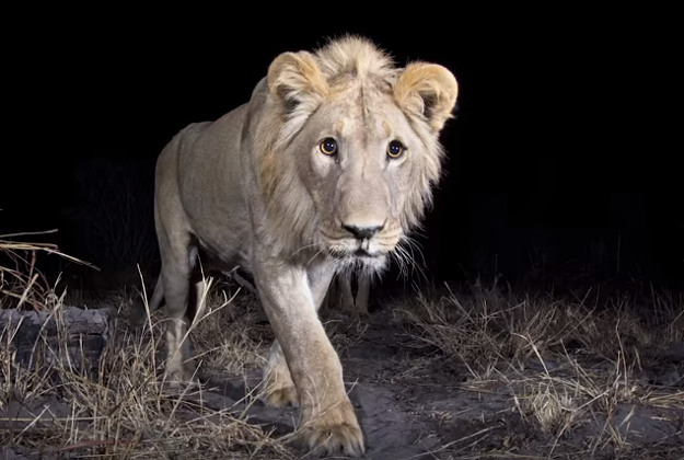 A shot of a lion by Burrard-Lucas. Image by Screengrab via YouTube