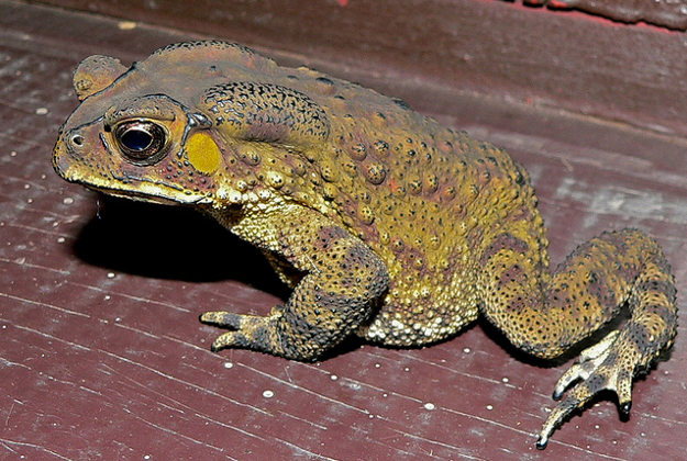 A toxic Asian toad, indigeonous to South East Asia