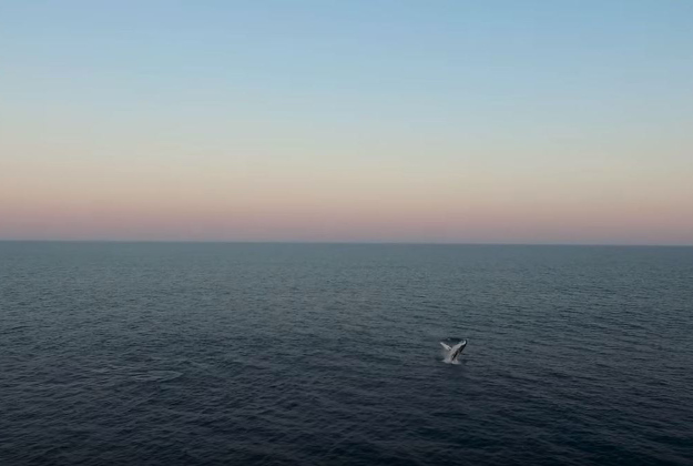 A whale breaches the water of the Australian coast in Eddy's drone footage