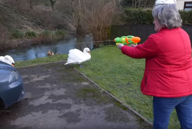 Elderly residents in The Cotswolds use water guns to fight back the swans