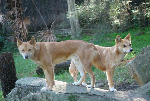 A new pilot project in Australia sees dingoes being used to patrol  pests such as feral cats and foxes in a forest setting