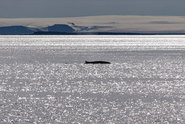 Fin whales won't be hunted in Iceland this summer.