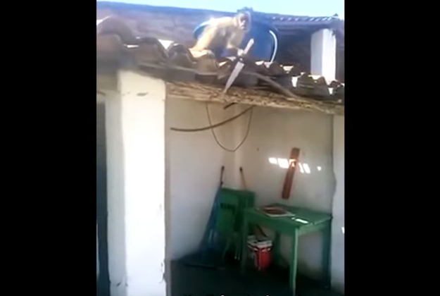 'Angry George' the capuchin monkey who got drunk and went on a rampage in Brazil