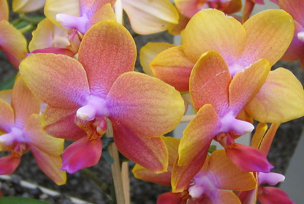 The Orchid Festival at Kew Gardens is getting a Brazilian theme to it this year to coincide with the Olympics being held in Rio De Janeiro