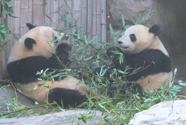 Pandas can only breed about two days in every year