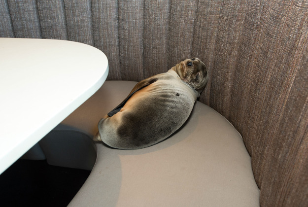 Sleeping baby sea lion found in a restaurant.