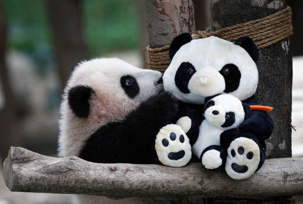 Giant panda Feng Yi, plays with a soft-toy