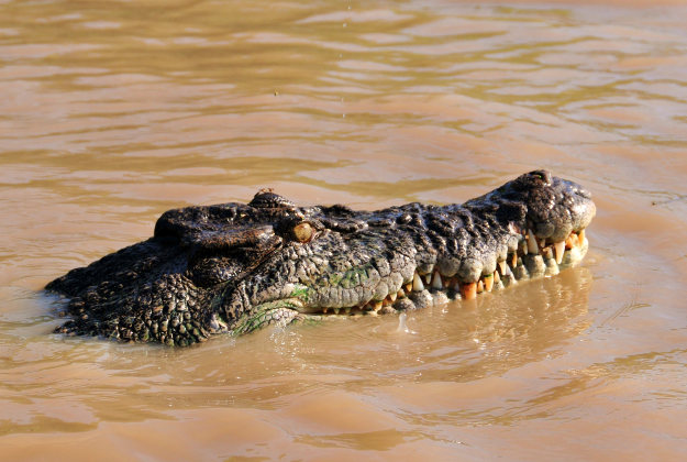A salt water crocodile on the Adelaide river.