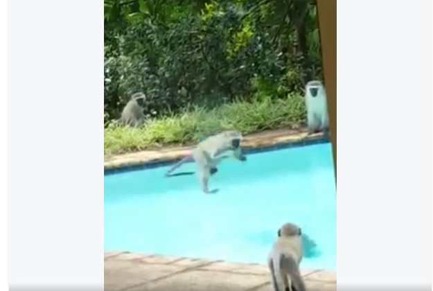 Some overheated vervets take to a pool in South Africa