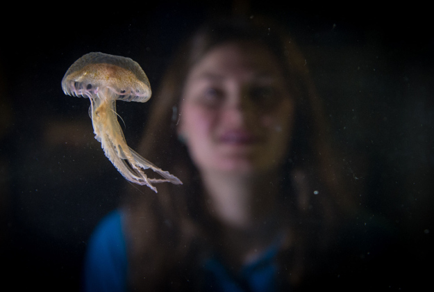 Aquarist, Ruth Chamberlain looks at Mauve Stinger jellyfish at Sea Life London Aquarium, in central London, as they are the first of the toxic jellyfish to go on display in the UK. PRESS ASSOCIATION Photo. Picture date: Monday March 7 2016. Measuring around 5cm across, the fish, usually found in the Mediterranean Sea are widely known for their searing sting and can be clearly identified by their purple colouring