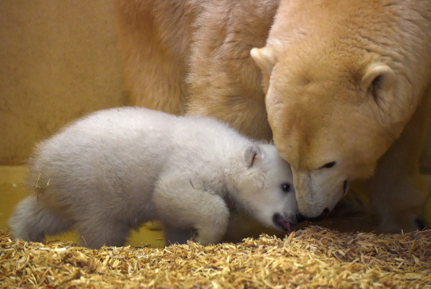 A female polar bear cub plays with its mother Valeska at the zoo in Bremerhaven, northern Germany, Wednesday, March 9, 2016. It was born on Dec. 11, 2016 and weighs already around eleven kilograms.