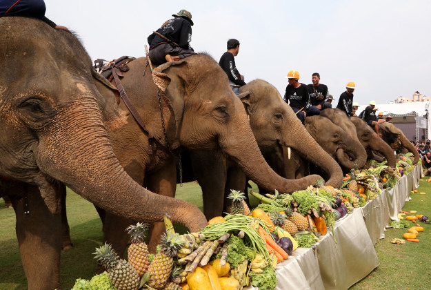 Elephants enjoy a spread of fruit and vegetables ahead of their polo match in Bangkok, Thailand, Thursday, March 10, 2016. The annual King's Cup Elephant Polo charity event raises funds for projects that better the lives of Thailand's wild and domesticated elephant population and is being held on the banks of Bangkok's Chao Phraya River until March 13.