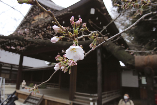 "Cherry trees have begun to bloom in Tokyo five days earlier than in an average year and two days earlier than last year, according to the Japan Meteorological Agency, which confirmed Monday morning that a somei-yoshino ""sample tree"" at Yasukuni Shrine in Tokyo, in Tokyo, Monday, March 21, 2016."