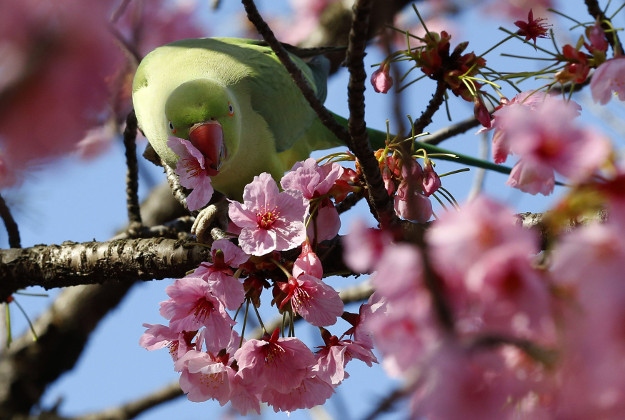 """A cockatiel drinks the nectar of a Yoko cherry blossom, at Ueno park in Tokyo, Tuesday, March 22, 2016. The Japan Meteorological Agency confirmed Monday that buds of Tokyo's benchmark cherry tree of """"Somei Yoshino"""" at a shrine started to bloom Monday, five days earlier than an average year and two days earlier than last year."""
