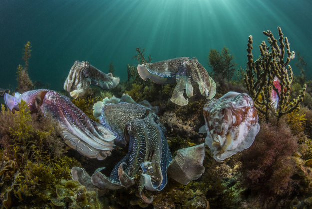 The Australian Giant Cuttlefish aggregation is truly one of nature's great events. Thousands of cuttlefish congregate in the shallow waters around the Spencer gulf in South Australia, to mate and perpetuate the species. The cuttlefish like alien beings, display an array of patterns, textures and colours to indicate their intentions. As male courts a female or wards off other males, and entourage of suiters stay poised for an opportunity to mate with the female. A visual delight and a rare glimpse of nature in all its glory.
