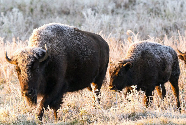 A plains bison herd have come back from near extinction to have a presence across every state in the USA Image by Parks Canada via AP.