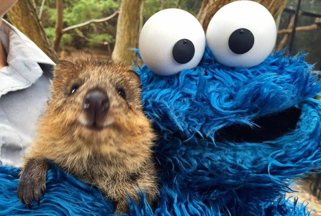 Cookie Monster made great friends with a quokka