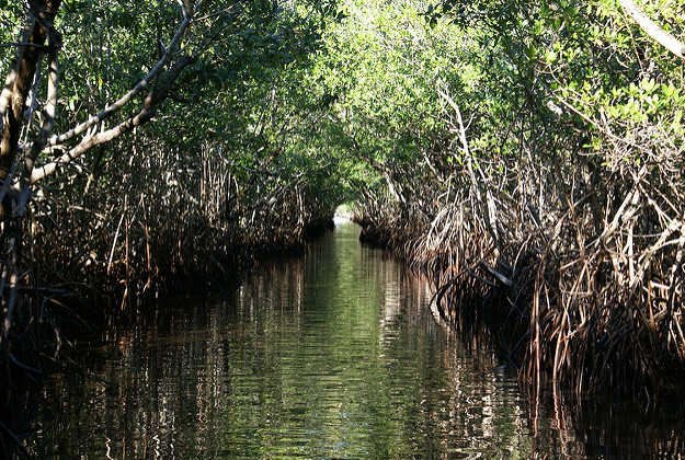 The monkeys live in mangroves in the Everglades.
