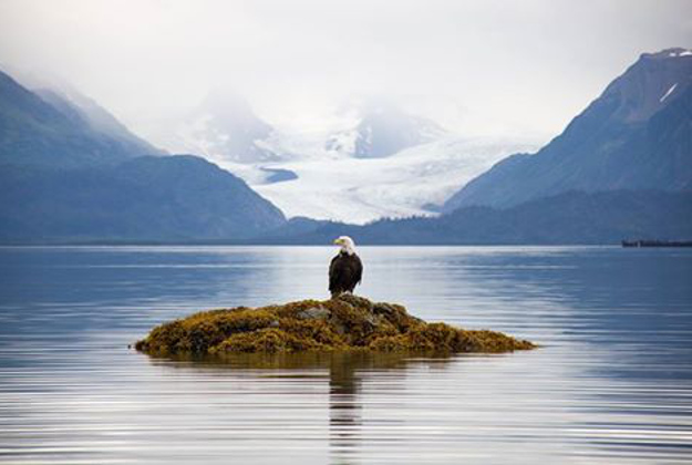 Dramatic photo of a bald eagle in Glacier Bay National Park in Alaska