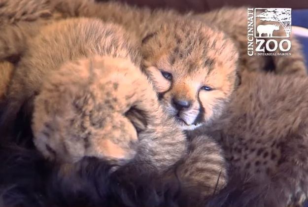 Five orphaned cheetahs have a new companion at the Cincinnati Zoo.
