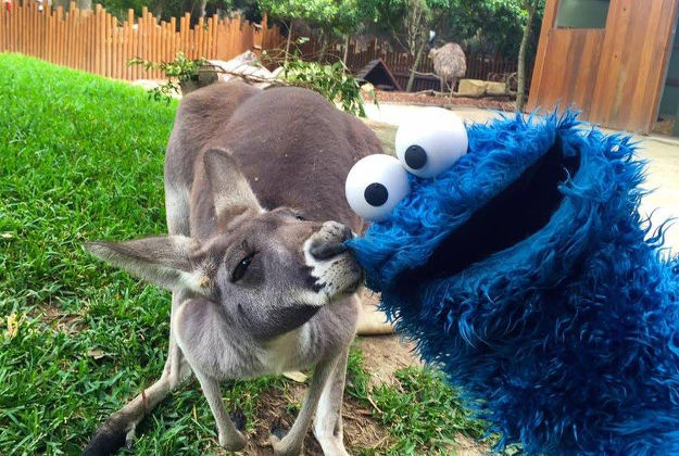Penny the Kangaroo and the Cookie monster