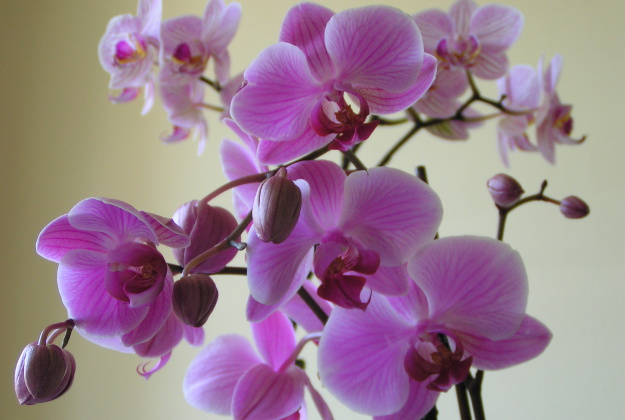 The Chicago Botanic Gardens celebrate their orchids this weekend